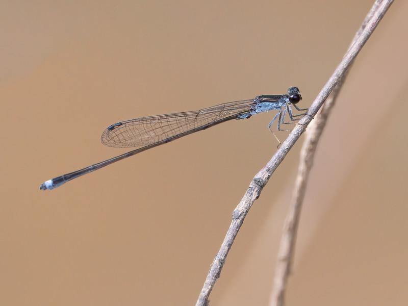 Blackwater Bluet (Enallagma weewa), male