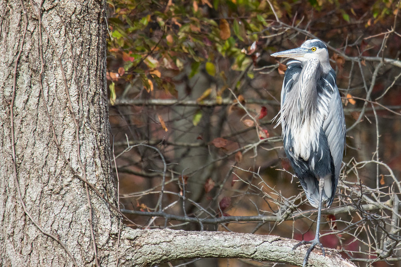 Great Blue Heron Bombay Hook 2019-1.jpg