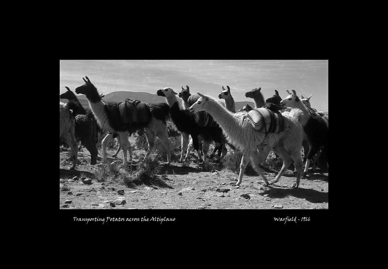Transporting Potatos across the Altiplano.jpg