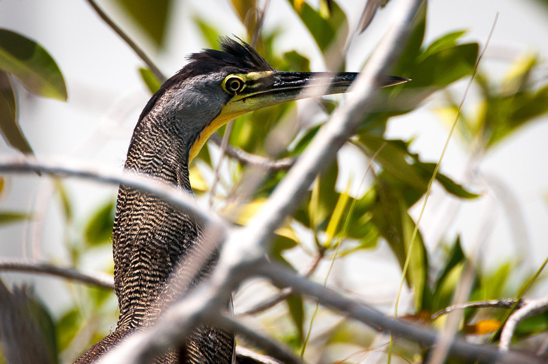Bare Throated Tiger Heron - Maya Riviera, Mexico