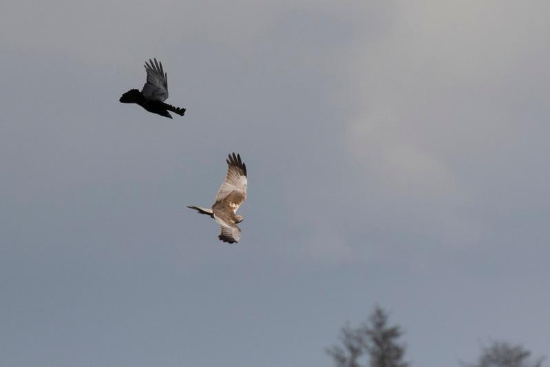 bruine kiekendief, marsh harrier raaf, common raven