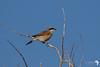 Southern grey Shrike