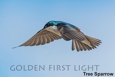 Tree Swallow, Bear River Migratory Bird Refuge UT, USA