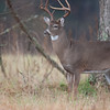 White-tailed deer buck chewing on branches and marking scent as part of rut behaviour
