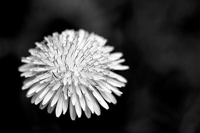 Dandelion in IR
