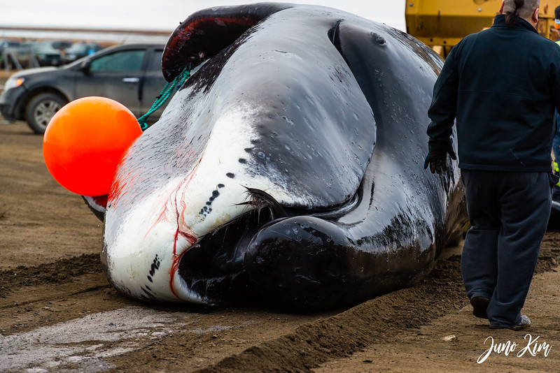Utqiagvik Whaling-6104407-Juno Kim.jpg
