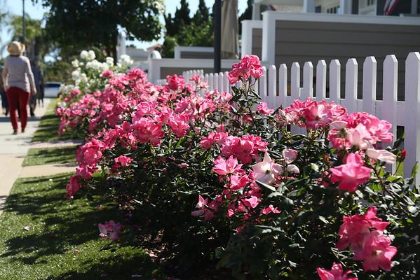 pink roses corodado walking tour