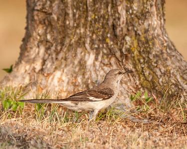 Mockingbirds Thrashers