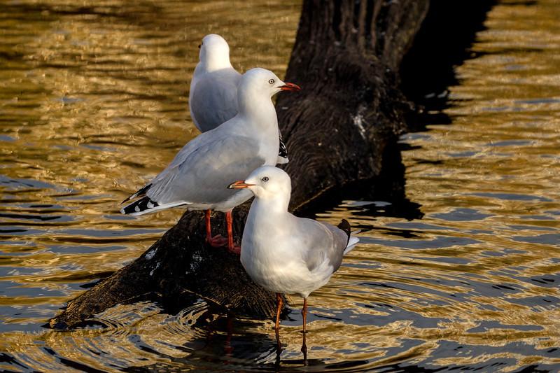 Silver gulls under Richmond Bridge, Tasmania