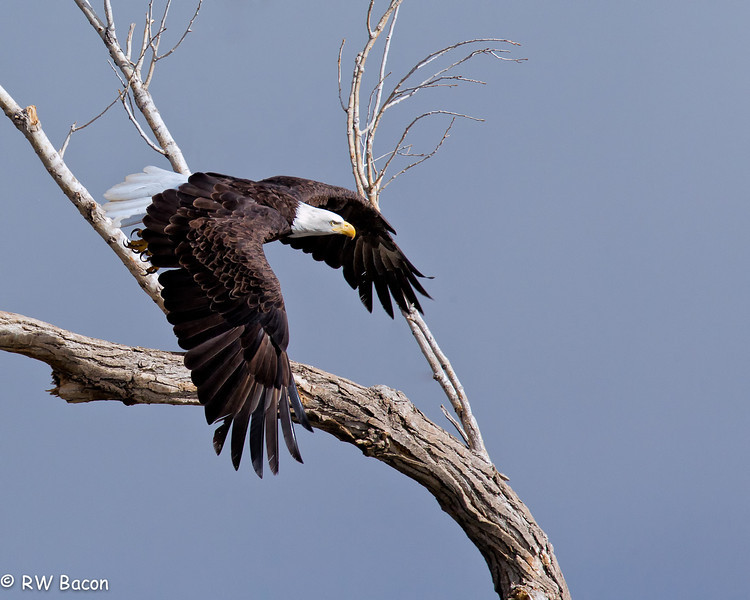 Bald Eagle Bosque del Apache San Antonio, NM