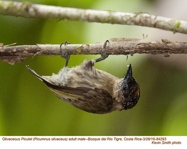 Olivacous Piculet M84283.jpg