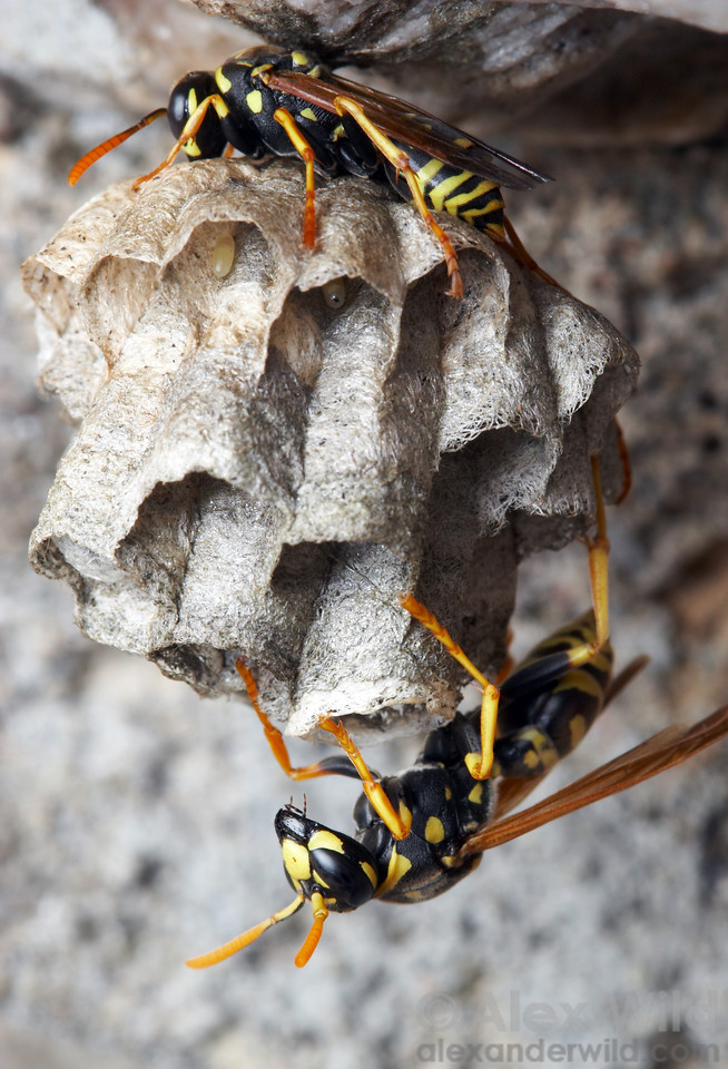 A nest of the European paper wasp, Polistes dominula.  filename: dominulus6