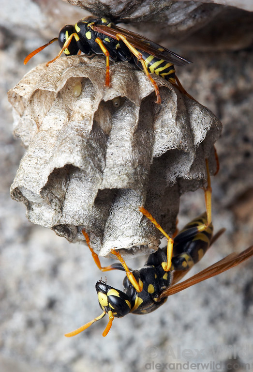 A nest of the European paper wasp, Polistes dominula.