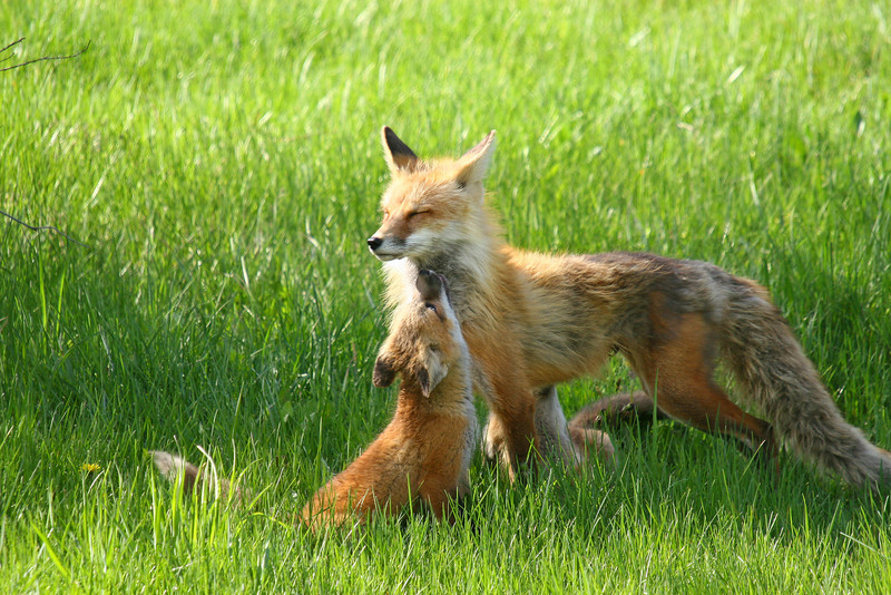 Fox kit begs for a meal