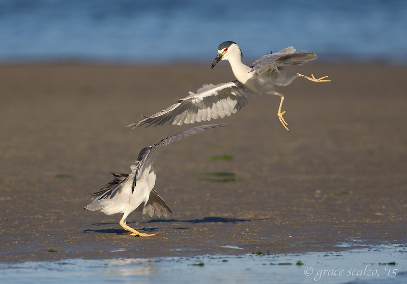 Black-crowned Night Herons Dueling
