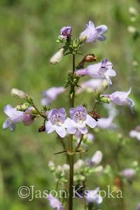 Plantaginaceae (Plantain family)