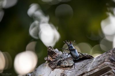 Beetles / Skalbaggar
