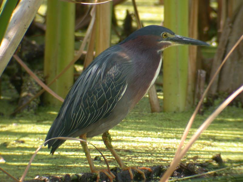 Heron - Green - Osakis, MN