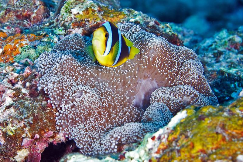 Clark's Anenome Fish.jpg