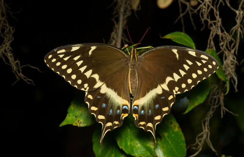 Palamedes Swallowtail, Papilio palamedes, from the Timucuan Preserve in Jacksonville, Florida.