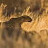 Backlit African leopard