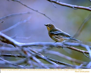 YellowRumpedWarbler19211.jpg