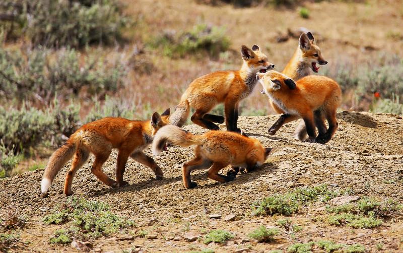 Wild Fox Pups_pe.jpg
