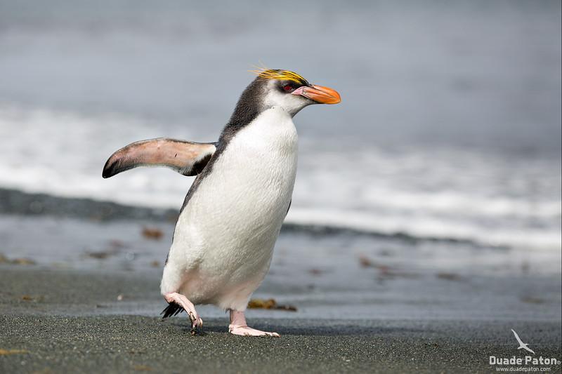Royal-Penguin-MacquarieIsland-TAS-812-13-10.jpg