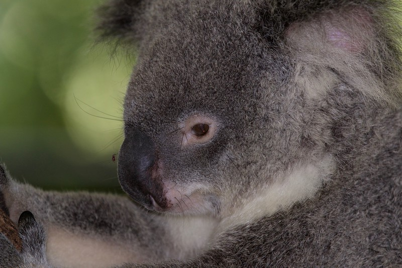 Koala, Sunshine Coast, Queensland