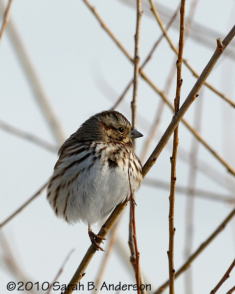 Song Sparrow perching nicely in the sun