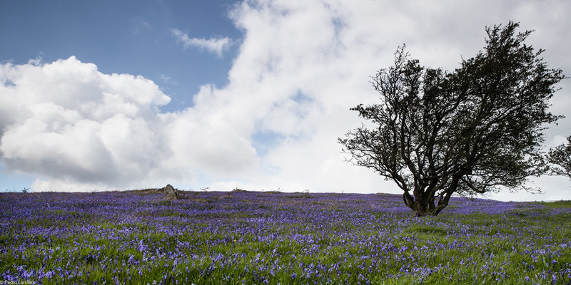 Bluebells and Sky