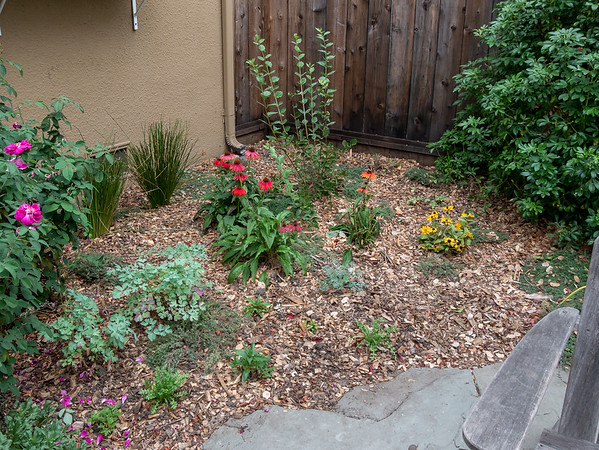 19 October 2017.  Rose Bed, east side.  Two Juncus divisions now cover the vent.  Four Achillea divisions sit behind the mock orange. Two new Aquilegia and several native annuals.   The Echinacea will stay; the Rudbeckia will go when it finishes.  There's a spot front right for a new rose.