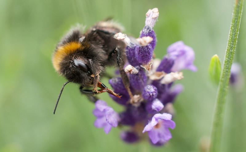 Bumblebee cleaning its proboscis