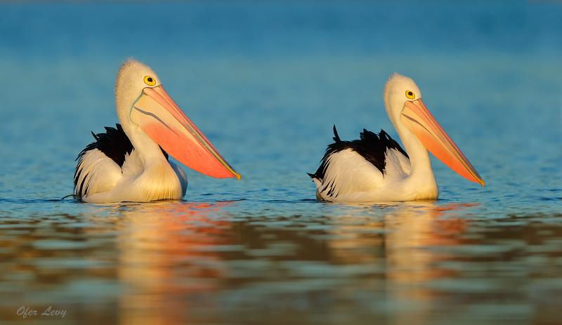 Australian Pelican - pair MASTER.jpg