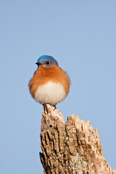 Eastern_bluebird_portrait_on_snag.jpg