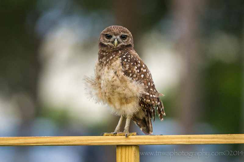Burrowing Owl Petticoat Feathers Brian Piccolo Park Cooper City, Florida © 2014