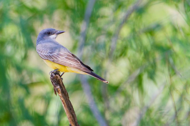 Western Kingbird - Patagonia, AZ, USA