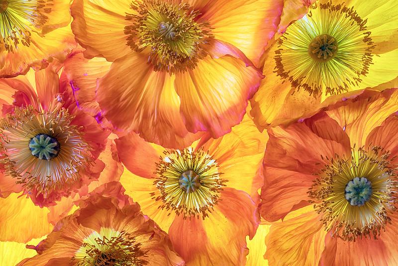 poppy-06.jpg
