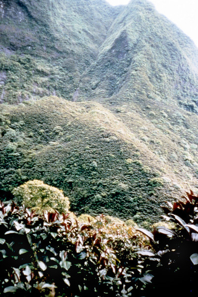 When entire slopes are covered, as here in Tahiti (1988), one can see the potential for more landslides.  Miconia was introduced to Tahiti at a garden near where this picture was taken, and a botanical garden along the coast near the right of the slide in Papeari over 60 years ago.  It quickly escaped from garden confines via birds and by people who liked its attractive foliage.  In the early 1980s there was a series of severe hurricanes in quick succession which opened holes in the forest and blew seeds even further afield.  Suddenly, miconia was everywhere, and spreading even more rapidly.  (photoID: bhg000311)