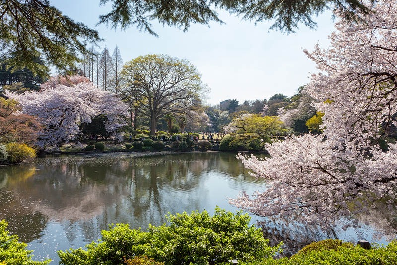 Cherry blossom trees in Shinjuku Gyoen national garden