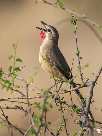 Singing his song, the Rosy-patched bushshrike
