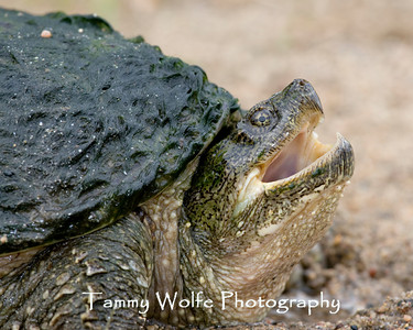 Turtle, Snapping