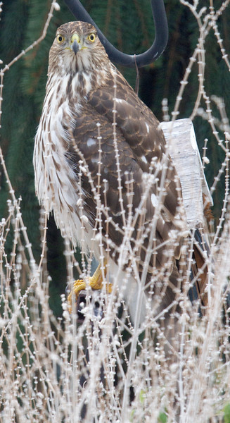 Coopers Hawk in back yard