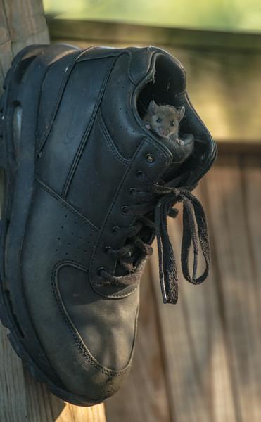 Field Mouse in Shoe