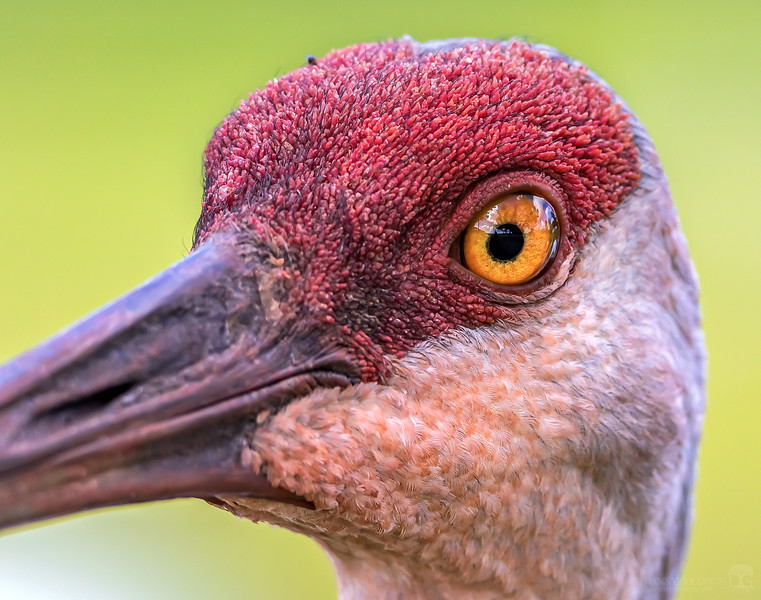 Sandhill crane with rusty stained feathers