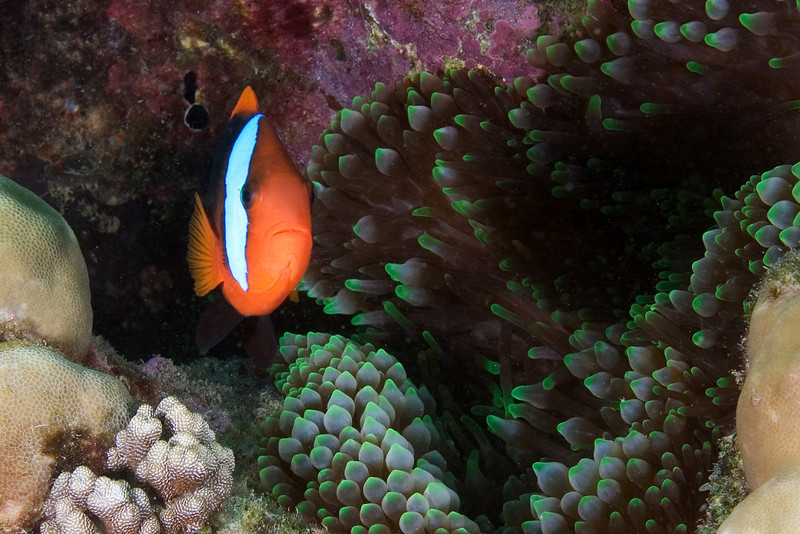 Clalrk's Anenome Fish 3.jpg