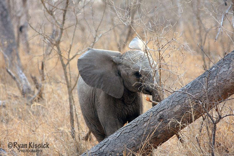 Baby African elephant hiding behind a branch
