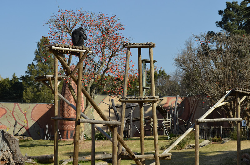 Day 7 The President  of the Joburg Zoo! Watching over his constituency, ensuring the voters are properly intimidated.