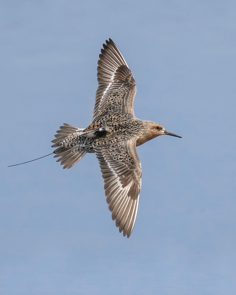 Red knot (banded with tracking device)