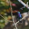 2017_ sapphire-throated hummingbird_Torti_Darien_Panama_AQ3T2003